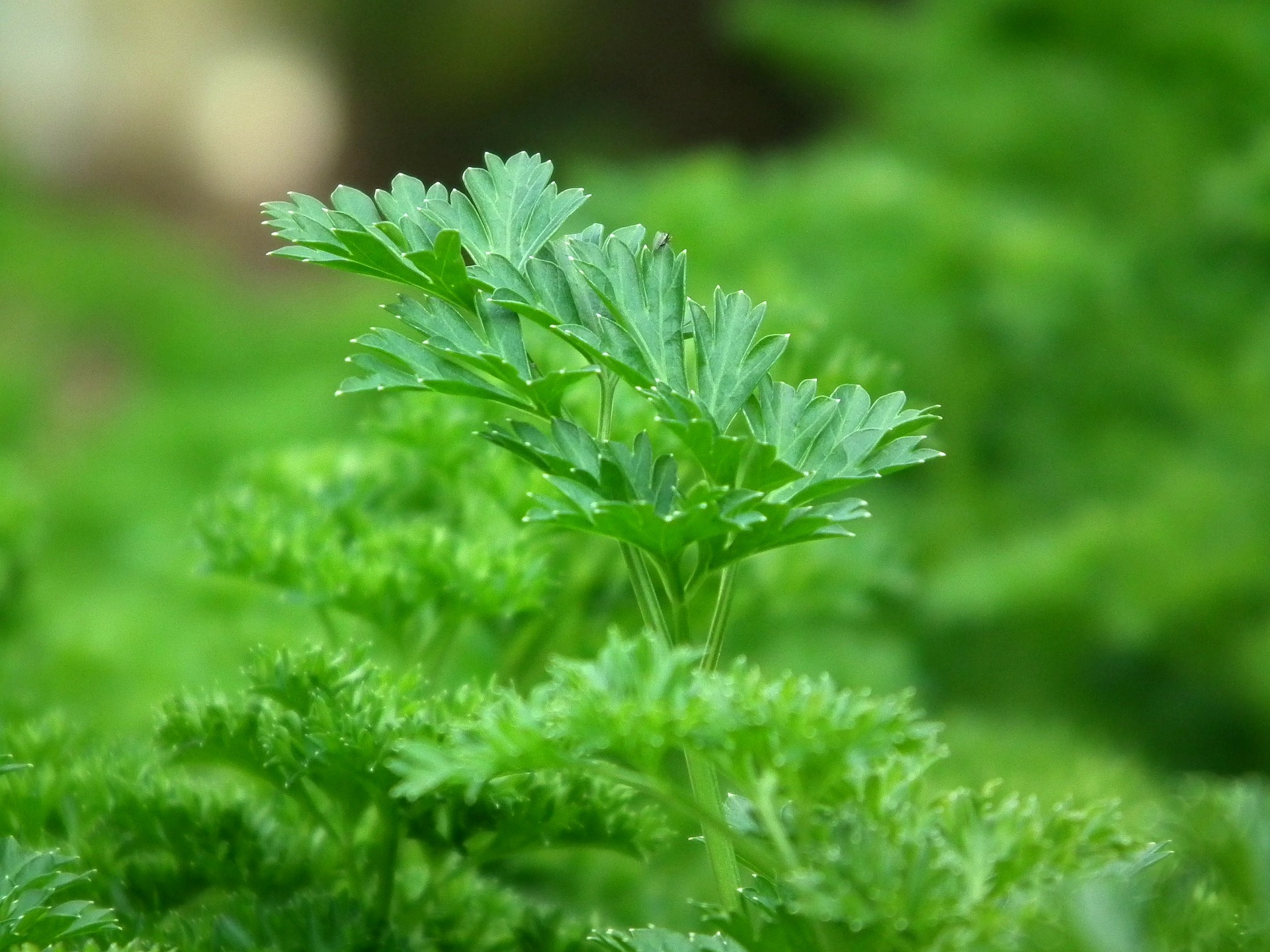 parsley-246557_1920